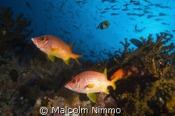 Another early morning dive in the Maldives  by Malcolm Nimmo 